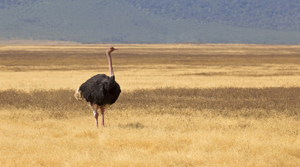 Ostrich in Ngorongoro crater, Tanzania