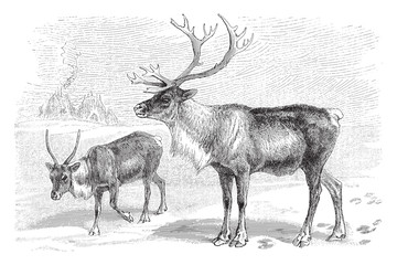 Reindeer (Rangifer tarandus) - vintage illustration