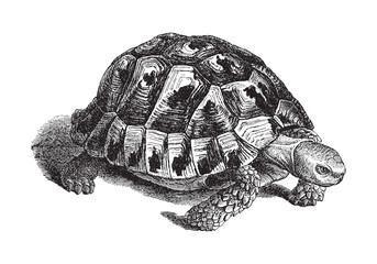 Spur-thighed tortoise or Greek tortoise (Testudo graeca) - vintage illustration