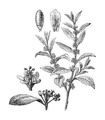 Coca (Erythroxylon Coca) / vintage illustration