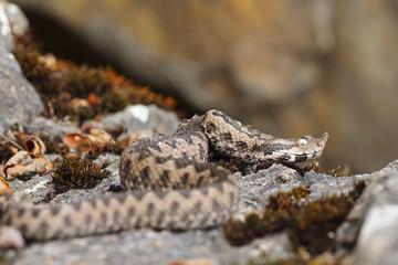 nose horned viper in natural habitat