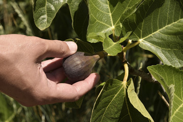 young man picking a ripe fig from the tree