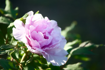 Big pink peony close-up on a background of green grass. Summer background, flower pattern