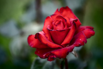 red rose in the grass