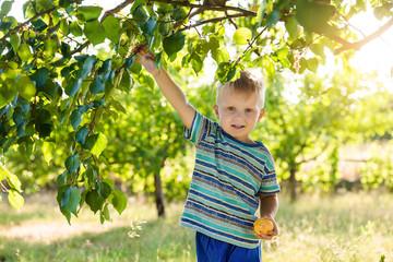 Boy in the apricot garden Harvesting