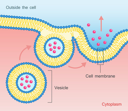 Exocytosis Vesicle Transport Cell Membrane