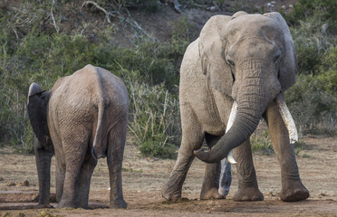 African Elephant with Very Long Tusks Looking at Female