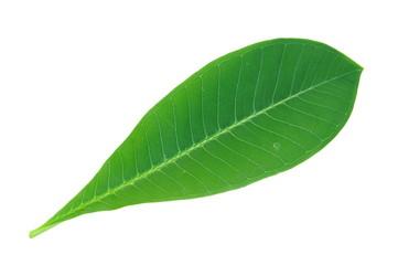 Plumeria or Frangipani leaf isolated on white background