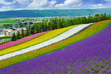 lavender and flower fields in the garden ,furano in Japan on summer time