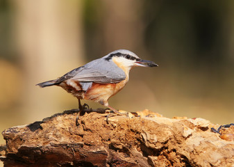 European Nuthatch on big branch with food in beak close-up