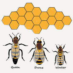 BEES , QUEEN, DRONE AND WORKER ILLUSTRATION VECTOR