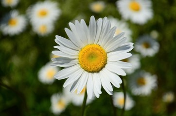 Single White Daisy in a field of wild daisies