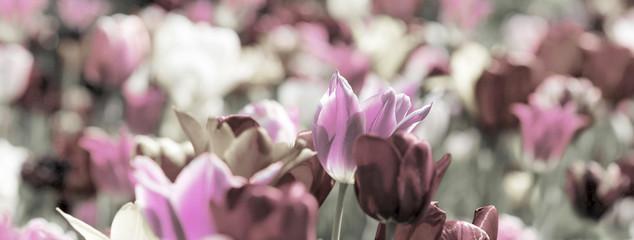 Fotoväggar - tulpen grau pink konzept