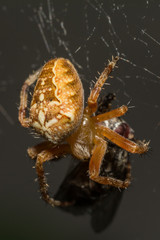 Yellow small spider eats a fly