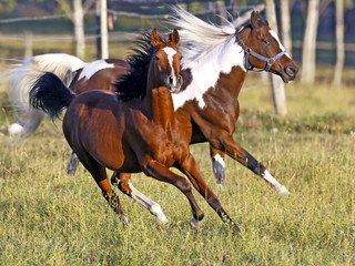 Playful Bay Arabian Filly and Pinto Gelding running together in summer meadow, close up