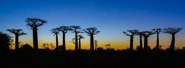 Poster Baobab Sunset on baobab trees