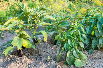 bell pepper and eggplant bushes at garden beds