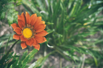 Retro style and vintage effect of Gazania flower, common name is Treasure flower, Botanical name is Gazania big kiss orange flame.