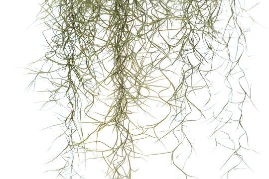 Spanish Moss Isolated