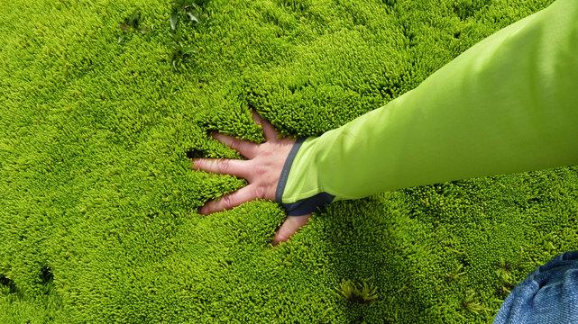 hellgrün leuchtendes weiches Moos in Island