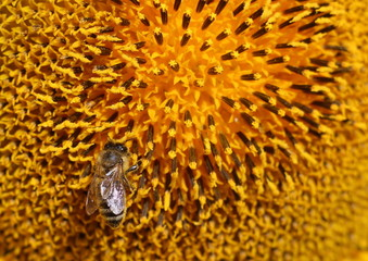 The bee is sitting on bright yellow sunflower and drinking nectar from it in .