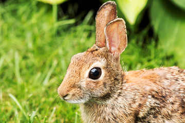 Close-up of a brown rabbits face