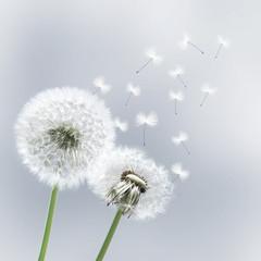 Schöne Pusteblumen