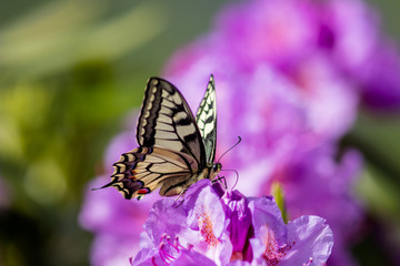 Big butterfly drinking nectar from rhododendron flower