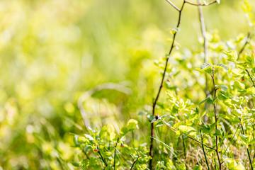 Bumblebee among blueberry plants