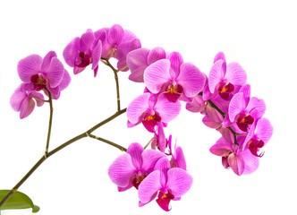 orchids on isolated background. beautiful flower branches orchids.