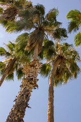 Low angle of Palm Trees against a Daytime sky. If you love palm trees, you are in the right place. Majestic. Proud. Incredible. These might be Bearded or Queen Anne or Califormia Palms. Not sure.