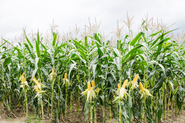Corn field ready to harvest,Ripe corn cob