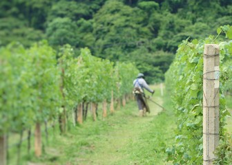 Worker mowing in  vineyards