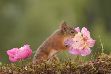 squirrel holding and smelling a Peony flower