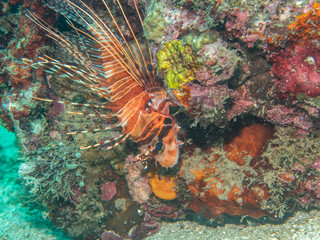 colorful Lionfish at the coral