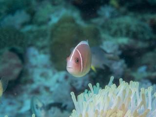 Anemone fish with Anemone at underwater