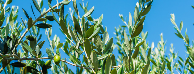 Olive tree branches with blue sky background.