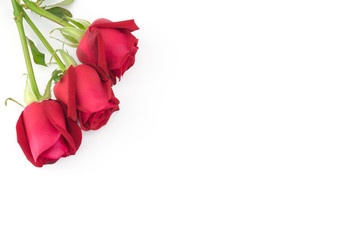 Red roses with green branch on white background with copy space