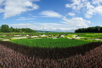 Panorama View of Beautiful Rice Field Art Landscape, Hokkaido