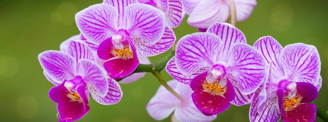 A close up of a pink orchid with water drops.
