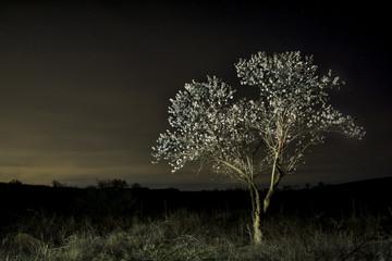 Almendro en la noche