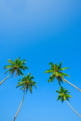 Green leafs and crowns of coconut palm trees on the beach at clear sunny summer day with clean sky