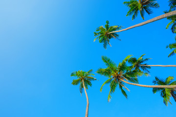 Coconut palms over blue sky with copy space