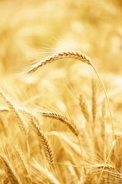 One wheat ear above the ripe wheat field