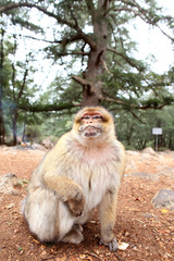 cute monkey looking at the camera. Monkey portrait. Monkey forest. morocco