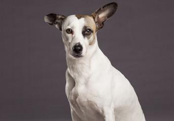 Mixed Breed Dog Studio Portrait