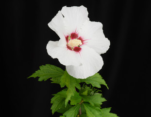 White Rose of Sharon Hybiscus