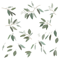 Leaves of Eucalyptus 1