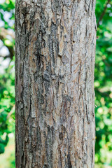 The trunk and bark of an adult tree of Apple. Textured background