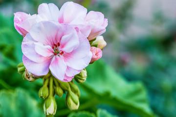 White garden geranium flowers